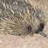 An echidna searching for ants.