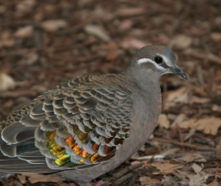A Bronzewing on the forest floor.