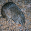 Small native marsupials such as the Quenda (shown here) and the Quokka are growing in numbers again thanks to fox baiting.